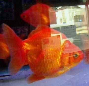アクアペット小倉の金魚